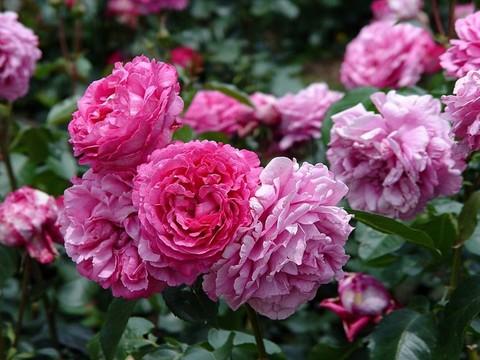 Роза чайно-гибридная Ив Пьяже (в тубе)