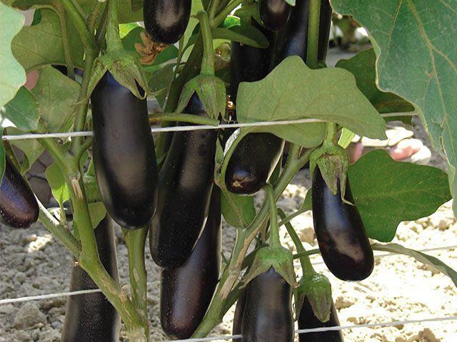 Баклажан Дестан F1 семена баклажана (Enza Zaden / Энза Заден) Дестан_F1_семена_овощей_оптом.jpeg