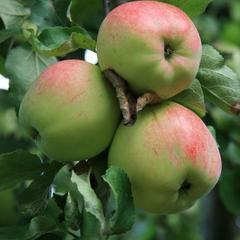 Яблоки Антоновка (1 кг)
