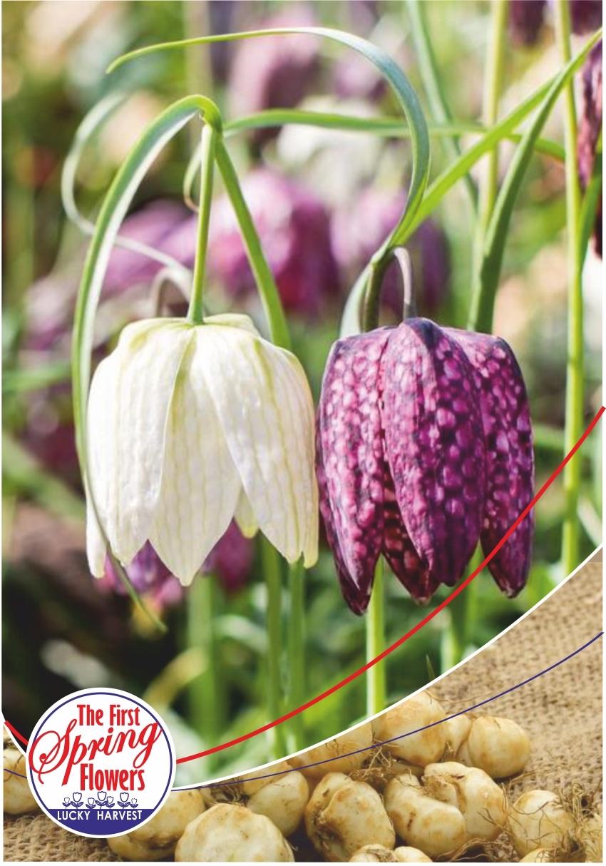 Фритиллярия  (Рябчик)  Мелеагрис Микс (Fritillaria 'Meleagris' Mixed)  Jan de Wit en Zonen B.V. Нидерланды