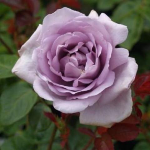 Роза чайно-гибридная Генри Идланд (в тубе)