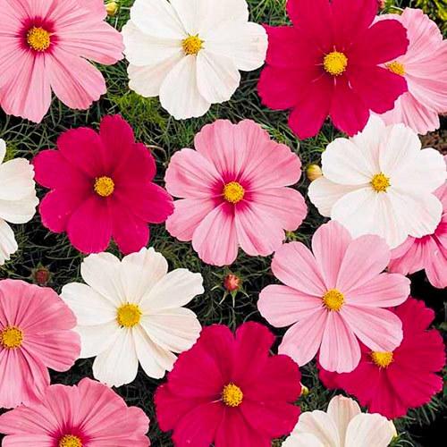 Семена цветов Семена цветов Космея Соната Микс, PanAmerican Seed, 10 шт. Космея-Соната-Микс.jpg