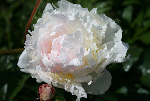 Пион молочноцветковый  'Энн Казинс'