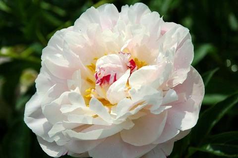 Пион молочноцветковый 'Эвеланч'