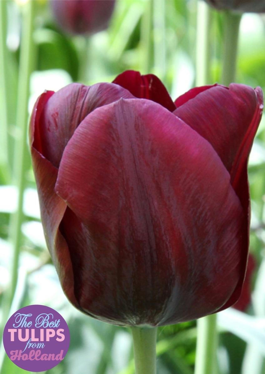 Луковицы Тюльпана Триумф Mascara (Маскара) TM Jan de Wit en Zonen B.V. (количество в упаковке 3 луковицы)