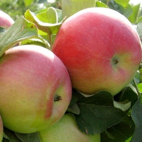 Яблоня зимний сорт Родниковое
