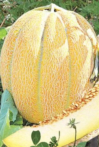 Семена Дыня Эфиопка, 10 сем