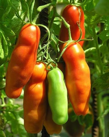 Семена Томат Аурия, 10 сем