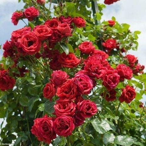 Роза плетистая Симпатия С6
